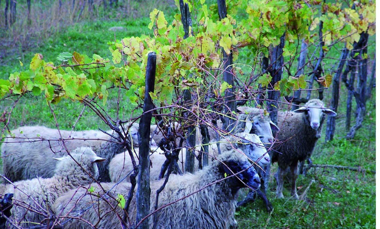 pecore e vigna