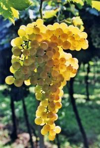 uva pecorino 1