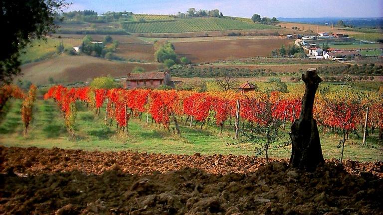vigne sangiovese 2